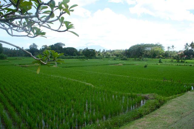 Bali_riisipellot