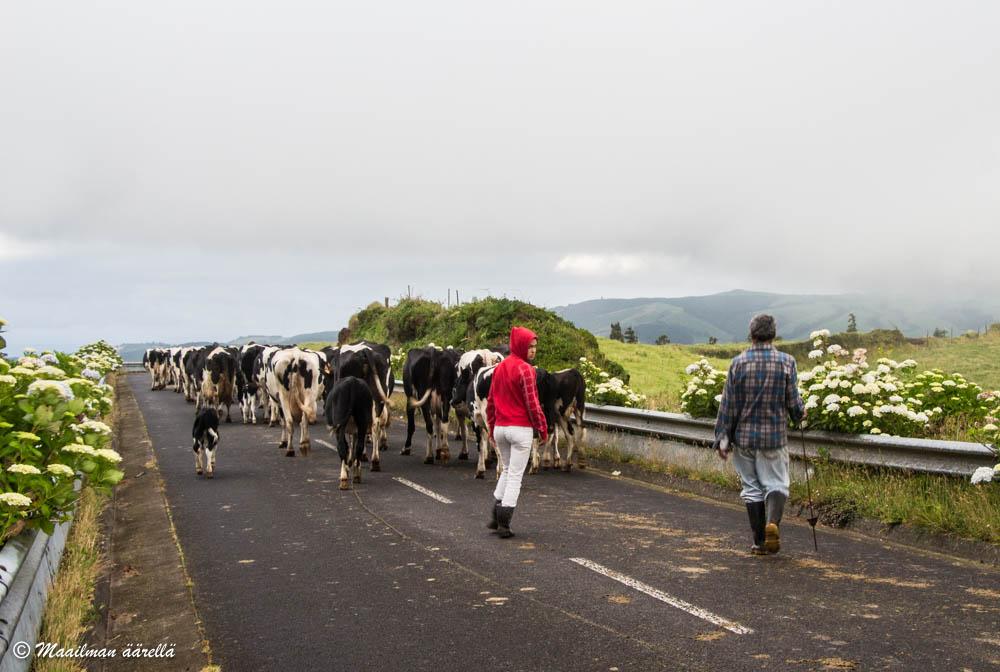 Azorit lehmä