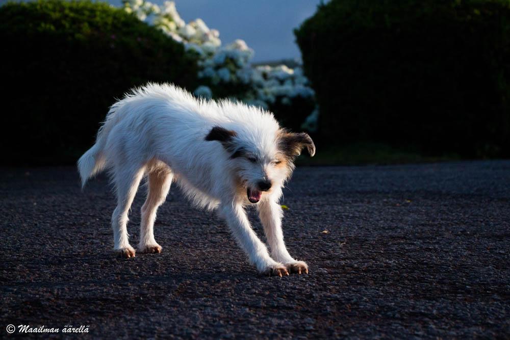 azorit koira