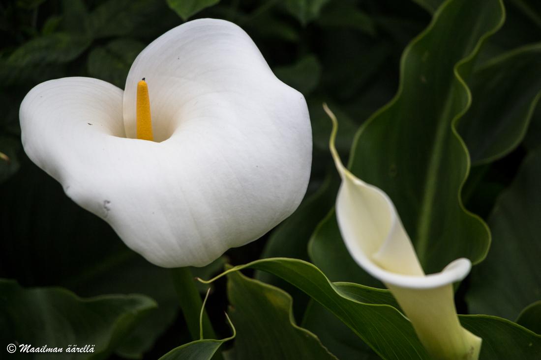 Madeira_kukka