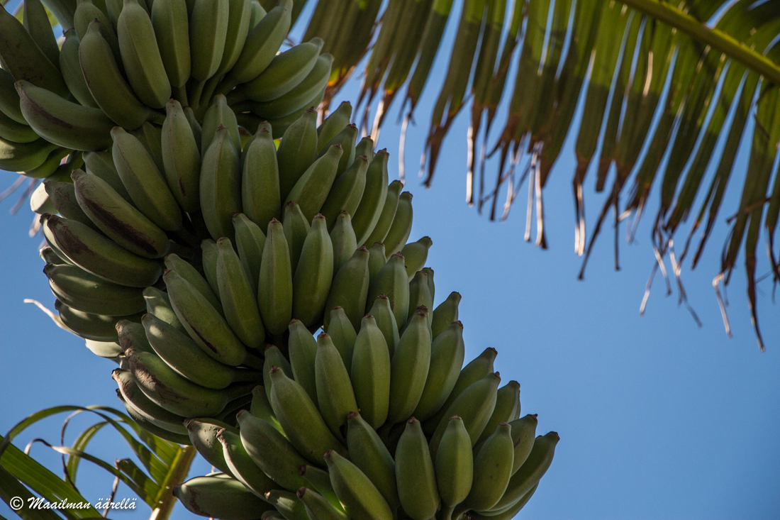 Madeiran banaanit