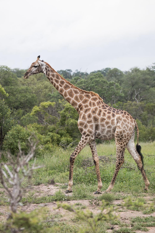 safari_kirahvi
