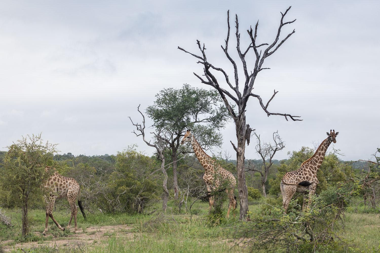 safari_kirahvit