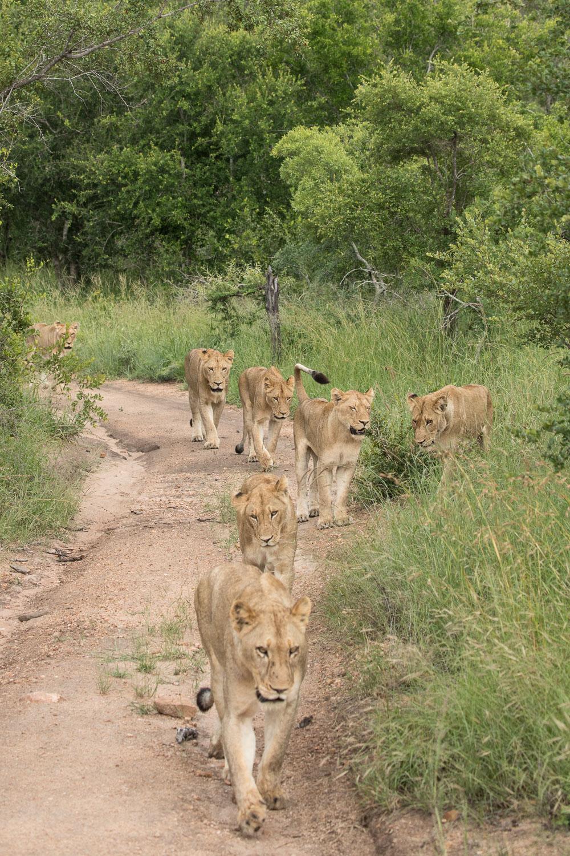 safari_leijona