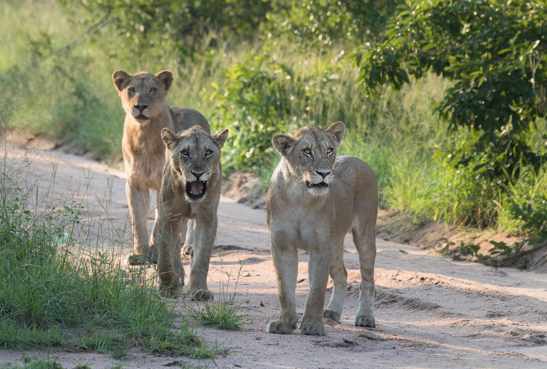 safari_leijonat