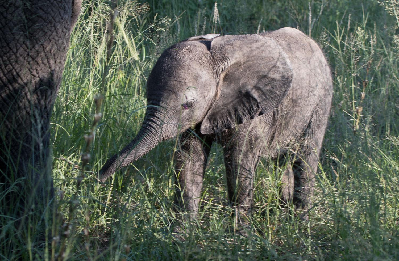safari_norsuvauva