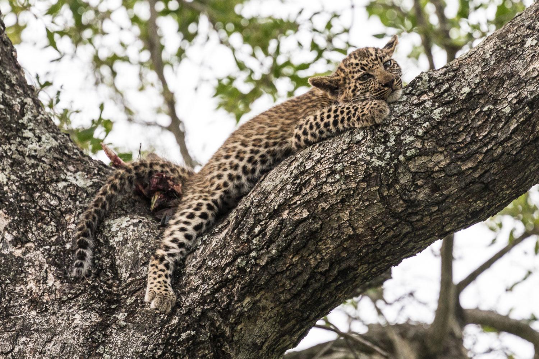 safari_vauvaleipardi
