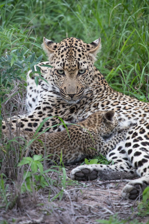 safari_leopardit