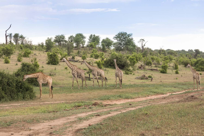 Botswana_safari
